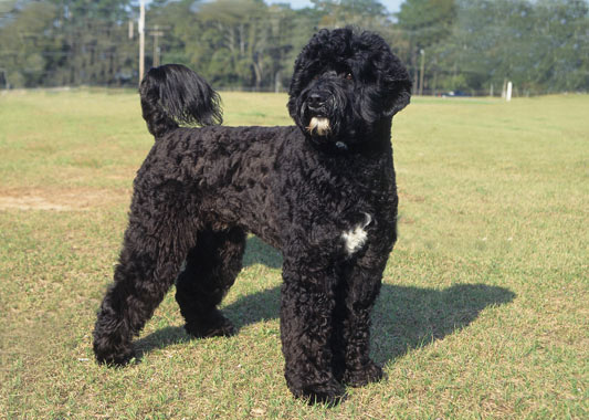 Portuguese Water Dog Breed Information-4275