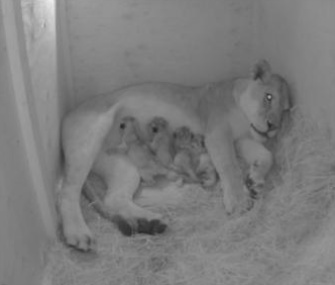 Lion Kya gave birth to four cubs Monday at the Oregon Zoo.
