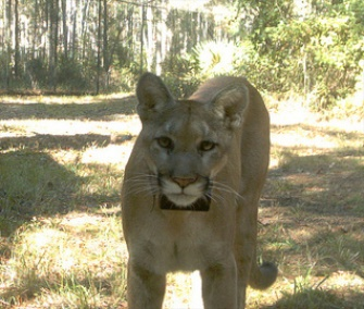 A 1-year-old Florida panther in rehab for a broken leg is on track to be released early next year.