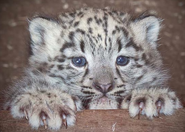 Cub X at Dudley Zoo