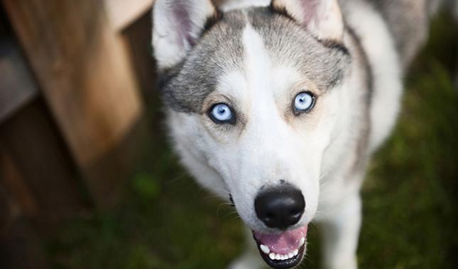 Huskies Dog Breeds