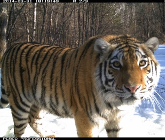 Scientists say camera traps show Cinderella the tiger may have met her prince.