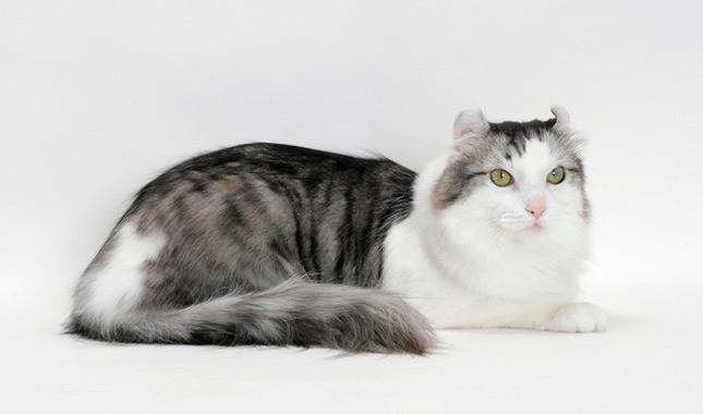 American Curl Cat Temperament