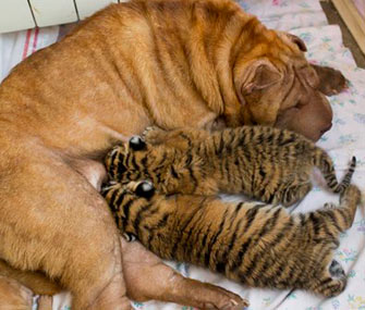 Shar-Pei Cleopatra took to these abandoned Siberian cubs immediately, zoo officials say.