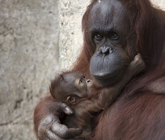 Mom Josie cuddles her fourth baby, GoJo, at the Lowry Park Zoo.
