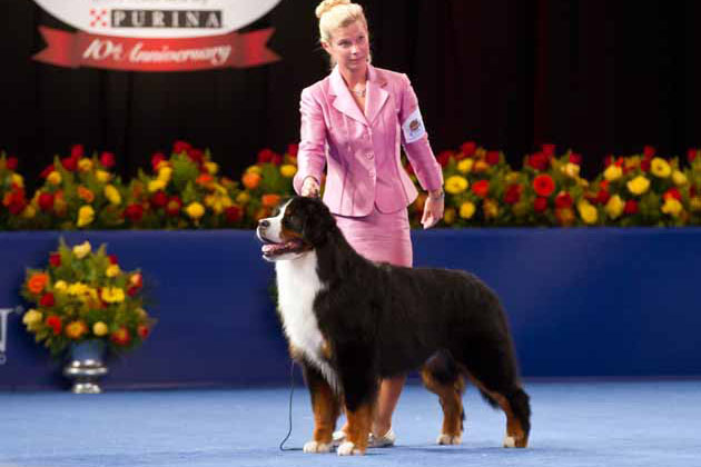Best Bernese Mountain Dog National Dog Show