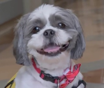 Buddy the Shih Tzu brings smiles and love to the ICU patients he visits regularly.