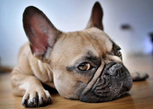13 Apartment Friendly Dog Breeds