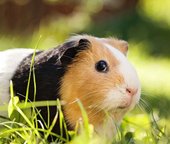 Adopt a Rescued Guinea Pig Month: Four Fun Facts About