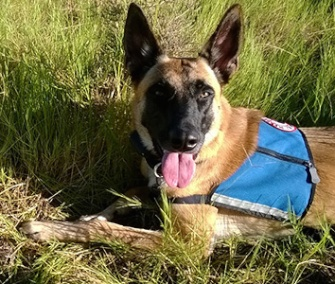 Brin, a 2-year-old Belgian Malinois, detects endangered geometric tortoises for a conservation group in South Africa.