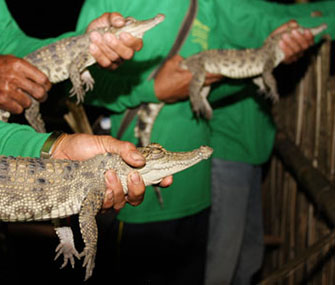 Nineteen rare Siamese crocodiles were released in Laos.
