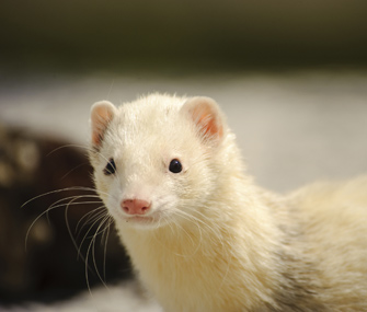 10 Things You Should Know Before Getting a Ferret as a Pet